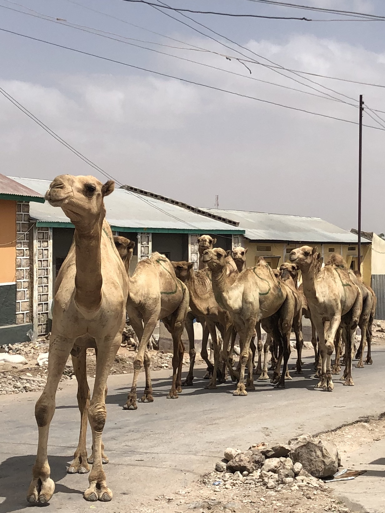 Camels roaming the streets just like the cows do in eSwatini