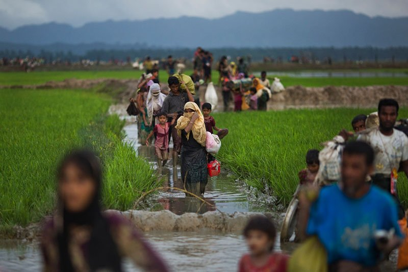 AP Caption do not remove or alter: Myanmar's Rohingya ethnic minority members walk through rice fields after crossing over to the Bangladesh side of the border near Cox's Bazar's Teknaf area.